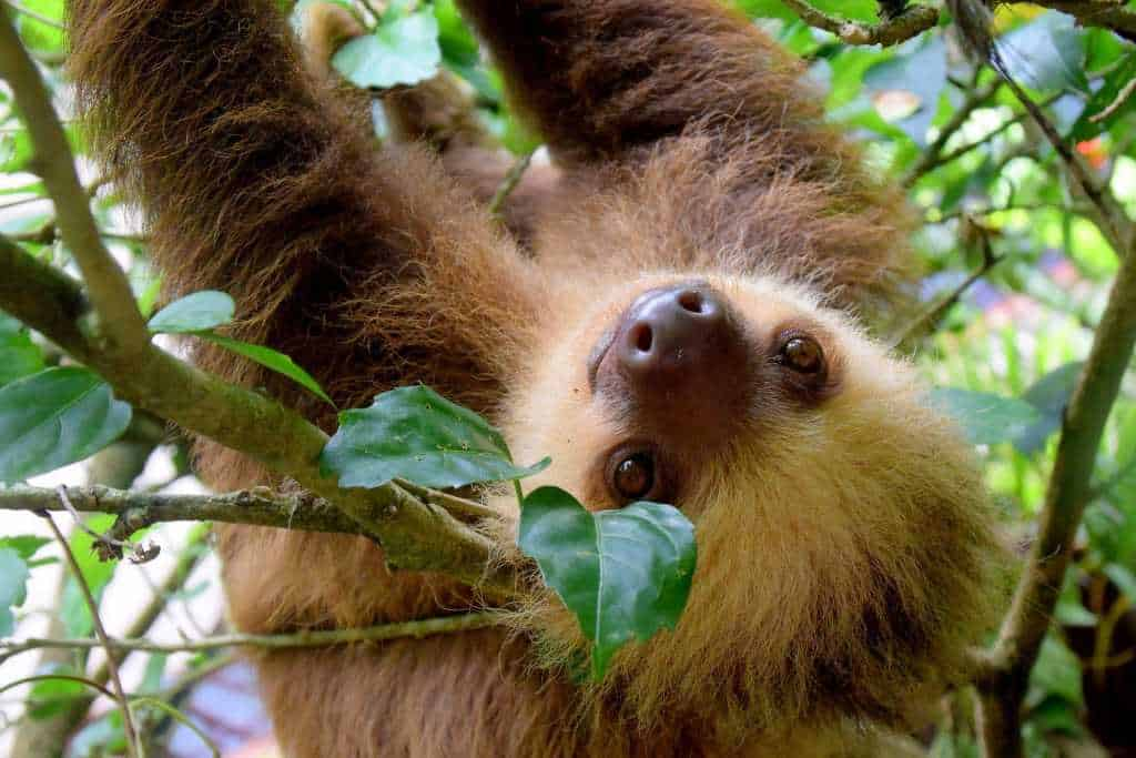 10 reasons to visit Costa Rica: baby sloth and other wildlife